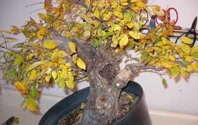 Bonsai-com-folhas-amarelando