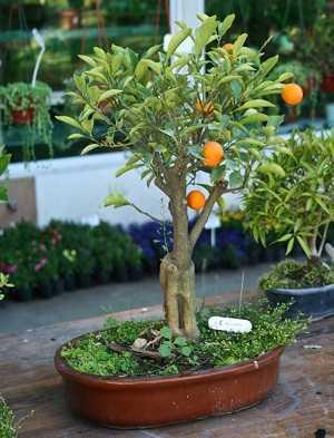 Bonsai-de-laranja-2