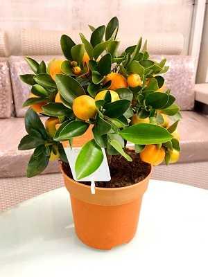 Bonsai-de-laranja-3