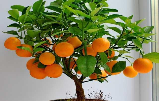 Bonsai-de-laranja