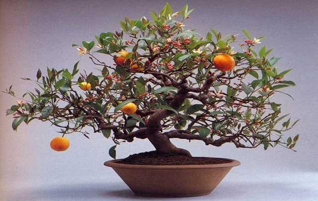 Bonsai-de-laranjeira