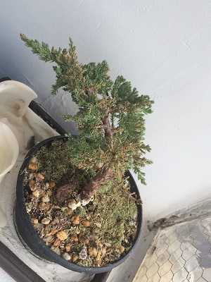 Bonsai-secando