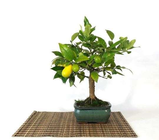 Bonsai-de-limão