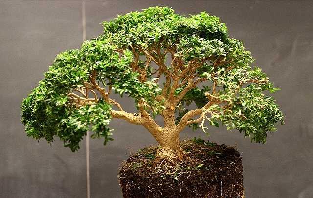 Buxus-bonsai-iluminação