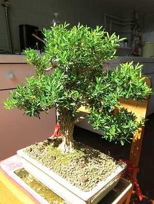 Buxus-harlandii