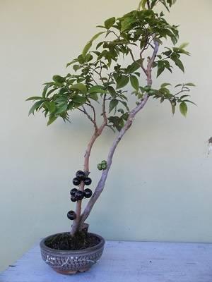 Bonsai-de-jabuticaba-com-frutos