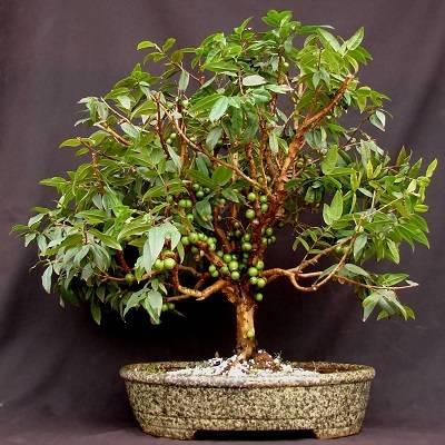 Jabuticaba-bonsai