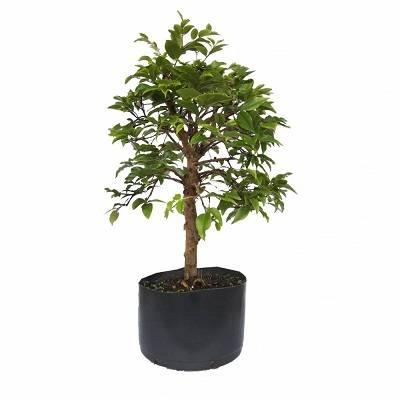 Jabuticabeira-bonsai