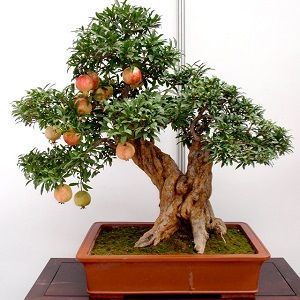 Romã-bonsai